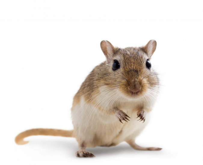 CHIPSI - Bedding Products for Mongolian Gerbils